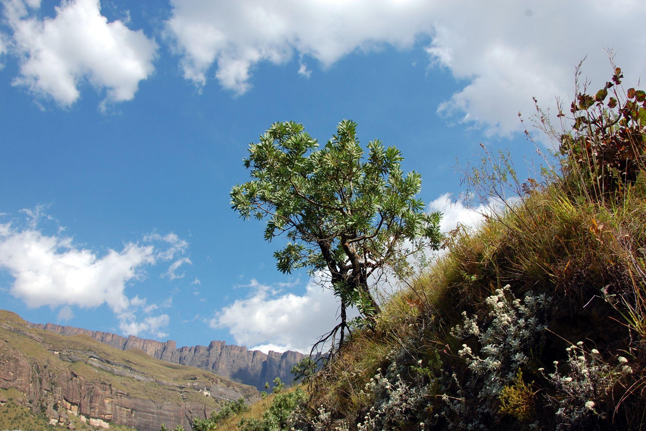 Die Blüte der Königsprothea ist das Wappenzeichen Südafrikas.